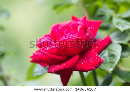 beautiful red rose in nature - stock photo