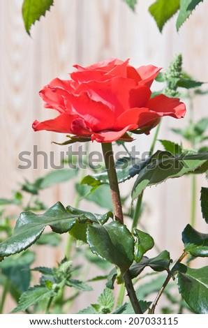 Beautiful red rose in summer garden - stock photo