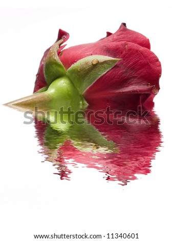 beautiful red rose in water - stock photo
