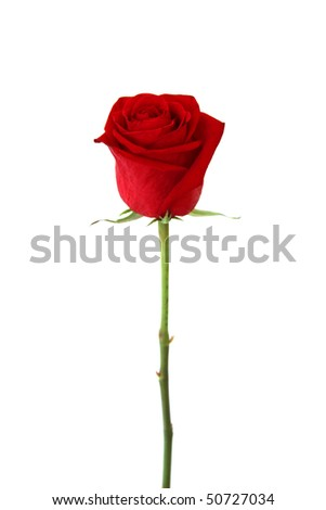 Beautiful red rose isolated on white background - stock photo