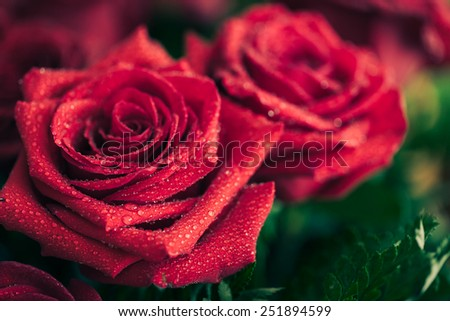 Beautiful red rose macro shot close up. Valentines Day - stock photo