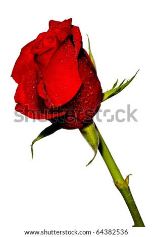 Beautiful red rose on white background - stock photo