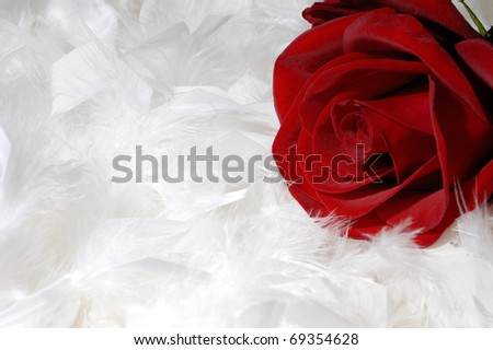 Beautiful red rose on white feathers background conceptual still life - stock photo