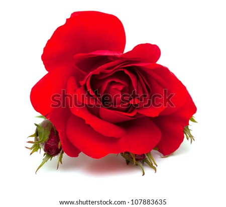 beautiful red rose over white - stock photo