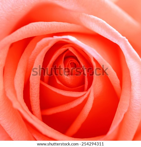 Beautiful red rose petals close up. - stock photo