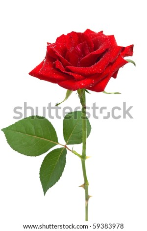 beautiful red rose with dew drops isolated on white