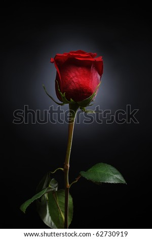 beautiful red rose with dew drops on a black background - stock photo