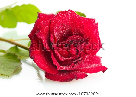 beautiful red rose with drops isolated on white