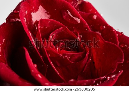 Beautiful red rose with drops of water on grey background