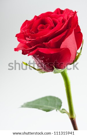 Beautiful red rose with drops of water on its petals - stock photo