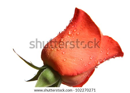 beautiful red rose with water drop - stock photo