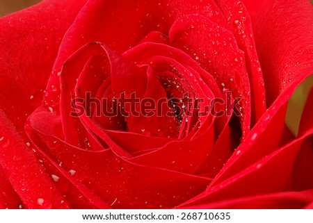 Beautiful red rose with water droplets. - stock photo