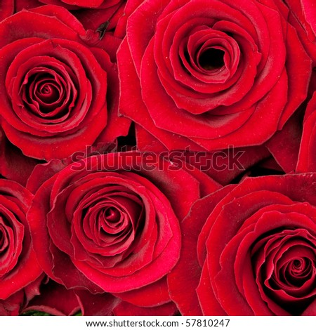 beautiful red roses, background texture - stock photo