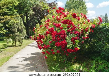 Beautiful red roses bush in garden at summer day - stock photo