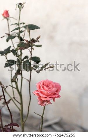 Beautiful red roses in the garden on blurred background. Selective soft focus. As floral background for your art project