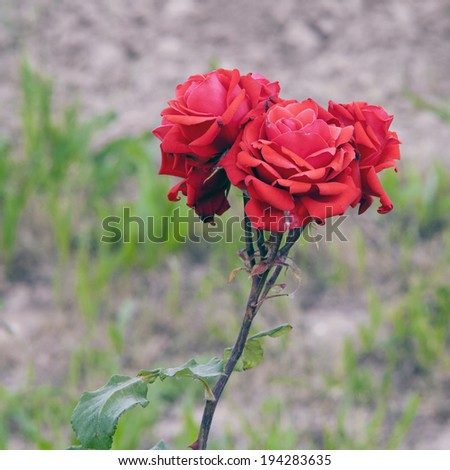 Beautiful red roses over a defocused background - stock photo