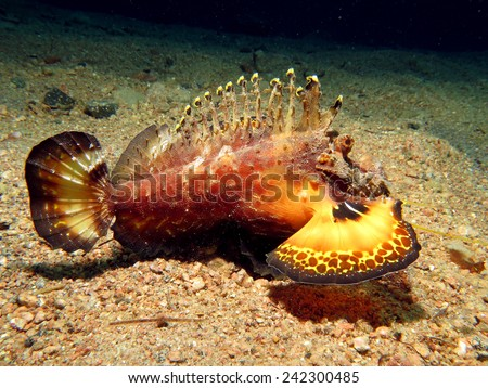 Beautiful Red Sea walkman extending colorful fins over sand