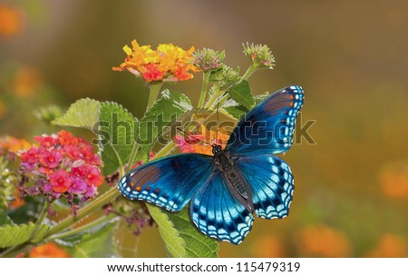 Beautiful Red Spotted Purple Admiral butterfly on colorful Lantana flower in sunshine - stock photo