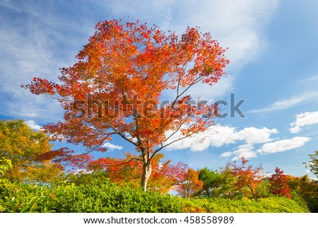 Beautiful red tree in fall with bright blue sky.