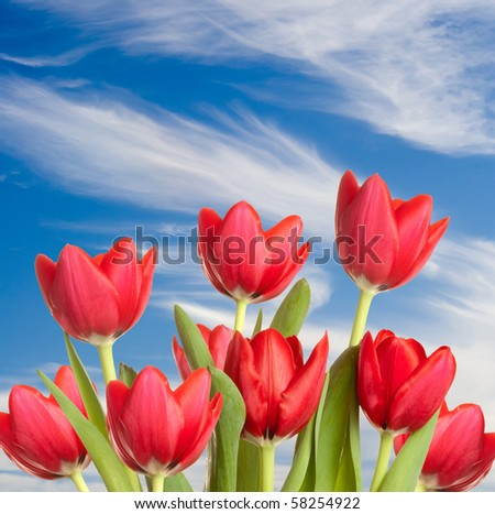 Beautiful red tulip blooms standing tall against a blue sky with wispy white clouds. - stock photo