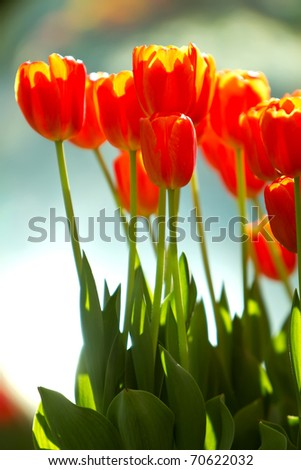 Beautiful red tulip flowers blooming - stock photo