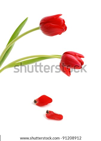 Beautiful red tulips and petals on white background - stock photo