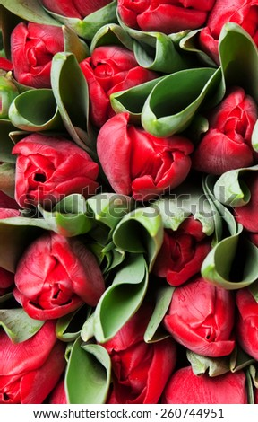 beautiful red tulips, big bouquet - stock photo