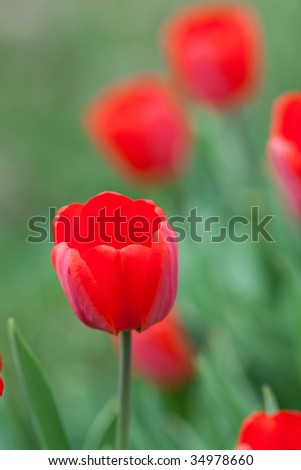 Beautiful red tulips have blossomed in a garden.