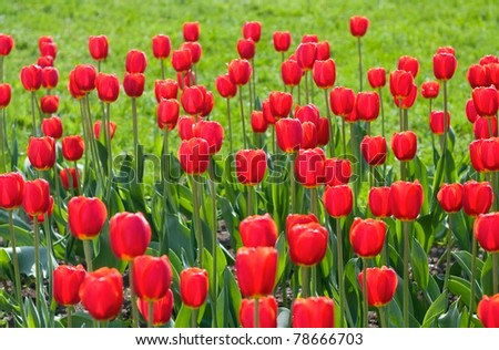 Beautiful red tulips in city park - stock photo