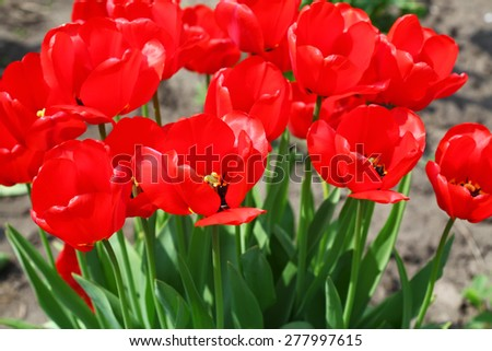 Beautiful red tulips in the garden - stock photo