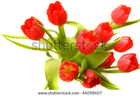 Beautiful red tulips isolated on white