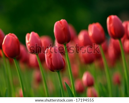 Beautiful red tulips on Canadian Tulip Festival in Ottawa - stock photo