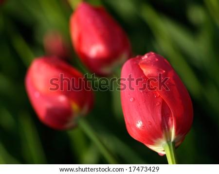 Beautiful red tulips on Canadian Tulip Festival in Ottawa - stock photo