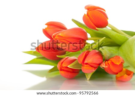 beautiful red tulips on white background - stock photo