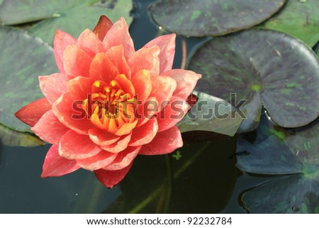 Beautiful red waterlily is blooming with soft sunlight - stock photo