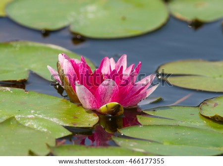 Beautiful red waterlily on the pond