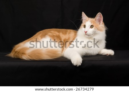 Beautiful red with white juvenile Norwegian Forest Cat on black background