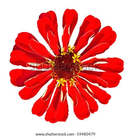 Beautiful Red Zinnia Elegans Isolated on White Background - stock photo