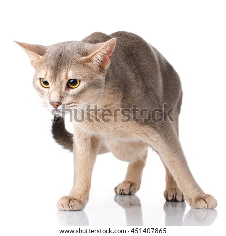 beautiful Redhead and gray cat abyssyn standing front on a white background
