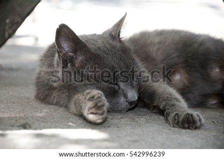 beautiful resting sleeping cat with fluffy grey fur laying with closed eyes on ground putting head on paw outdoor