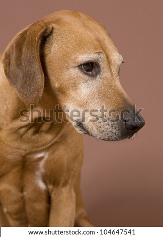 beautiful Rhodesian Ridgeback dog in front of brown background, 8,5 years old female, headshot - stock photo