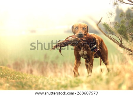 beautiful rhodesian ridgeback dog puppy hold pheasant bird hunting - stock photo