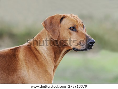 Beautiful Rhodesian Ridgeback female portrait. Image taken as a side view with blue background.