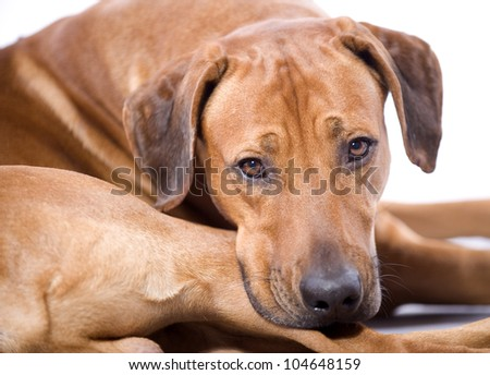 beautiful Rhodesian Ridgeback hound dog in studio, lying down and lokking into the camera, 4 years old male - stock photo