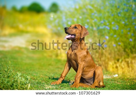 Beautiful rhodesian ridgeback hound puppy in a field - stock photo