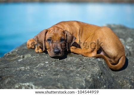 Beautiful Rhodesian ridgeback puppy outdoors at the sea - stock photo