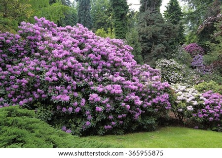 Beautiful Rhododendron Flower Bushes and Trees in a  Garden Landscape.