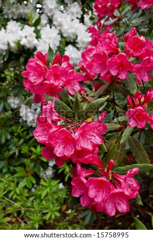 Beautiful Rhododendron flower in full bloom - stock photo