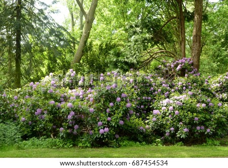 Beautiful rhododendron pink flower bushes trees stock photo image beautiful rhododendron pink flower bushes and trees in a garden mightylinksfo