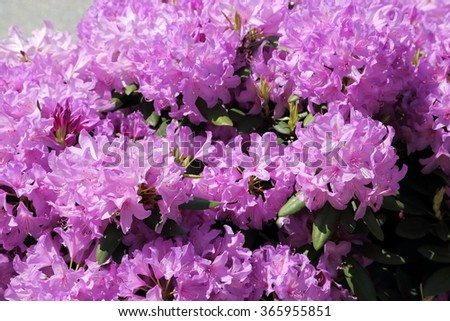 Beautiful Rhododendron Pink Flower Bushes  in a  Garden - stock photo